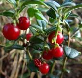013-Preiselbeere-Vaccinium-vitis-idaea-L. Klasing