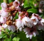 012-Preiselbeere-Vaccinium-vitis-idaea-L. Klasing