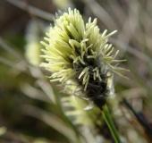 Blüte Scheidiges Wollgras (Eriophorum vaginatum)-L. Klasing