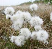 Samenstand: Scheidiges Wollgras (Eriophorum vaginatum)-L. Klasing