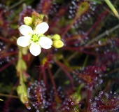 Blüte Mittlerer Sonnentau (Drosera intermedia)-L. Klasing