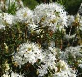 Sumpfporst (Ledum palustre)-L. Klasing