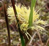 Blüte Schmalblättriges Wollgras (Eriophorum angustifolium)-L. Klasing