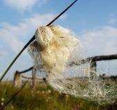 Reifer Samen Schmalblättriges Wollgras (Eriophorum angustifolium)-L. Klasing