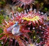 Rundblättriger Sonnentau (Drosera rotundifolia)-L. Klasing