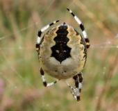 005-Marmorierte-Kreuzsp.-Araneus-marmoreus-var.-pyramidata-L.-Klasing-