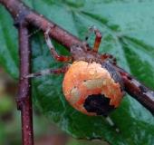007-Marmorierte-Kreuzspinne-Araneus-marmoreus-var.-pyramidata-L.-Klasing-
