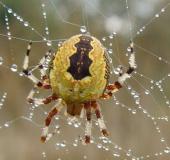 003-Marmorierte-Kreuzsp.-Araneus-marmoreus-var.-pyramidata-L.-Klasing-