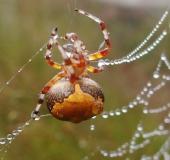 006-Marmorierte-Kreuzspinne-Araneus-marmoreus-var.-pyramidata-L.-Klasing-