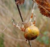 008-Marmorierte-Kreuzsp.-Araneus-marmoreus-var.-pyramidata-L.-Klasing-