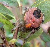 011-Marmorierte-Kreuzsp.-Araneus-marmoreus-var.-pyramidata-L.-Klasing-