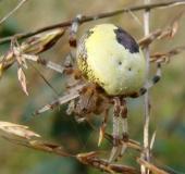 014-Marmorierte-Kreuzsp.-Araneus-marmoreus-var.-pyramidata-L.-Klasing-