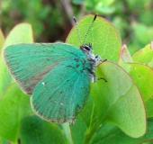 001-Brombeer-Zipfelfalter-Callophrys-rubi-Fam.-Blaulinge-02.05.2009-L.-Klasing-039