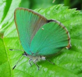 002-Brombeer-Zipfelfalter-Callophrys-rubi-Fam.-Blaulinge-30.05.2012.-L.-Klasing-38
