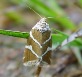 Silberstricheulchen (Eustrotia olivana)