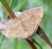 014-Ockergelber-Blattspanner-Euphyia-bilineata-Linne