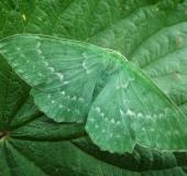 002-Grünes-Blatt (Geometra papilionaria)