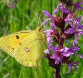 014-Postillion-Colias-crocea