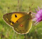 015-Postillion-Colias-crocea