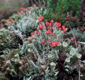 009-Rotfrüchtige-Säulenflechte-Cladonia-floerkeana-13.10.2017-L.-Klasing-