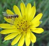 022-Blühstreifen-Wiesen-Bocksbart-Tragopogon-pratensis-Hain-Schwebfliege-m.-Episyrphus-balteatus-L.-Klasing-