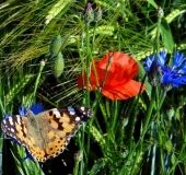 005 Blühstreifen Mohn u. Kornblumen L. Klasing