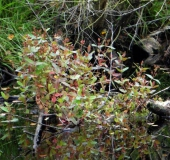 001-Frasers-Auenhartheu-Triadenum-fraseri-L.-Klasing-
