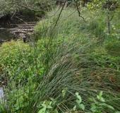 002-Frasers-Auenhartheu-Triadenum-fraseri-L.-Klasing-