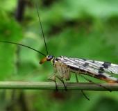001-Gemeine-Skorpionsfliege-Panorpa-communis-Weibchen-L.-Klasing-