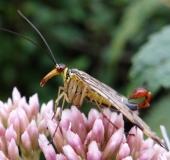 002-Gemeine-Skorpionsfliege-Panorpa-communis-Männchen-L.-Klasing-