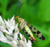 003-Gemeine-Skorpionsfliege-Weibchen-Panorpa-communis-L.-Klasing-