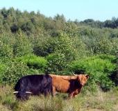 002-Schottisches-Hochlandrind-Highland-Cattle-L. Klasing