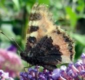 001-Kleiner-Fuchs-auf-dem-Schmetterlingsflieder-Aglais-urticae-08.07.2017-L.-Klasing-
