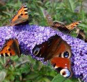 006-Kleiner-Fuchs-auf-dem-Schmetterlingsflieder-Aglais-urticaea-u.-Tagpfauenauge-Inarchis-io-18.08.2013-L.-Klasing-