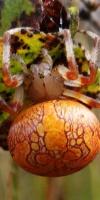 006 Marmorierte Kreuzspinne (Araneus Marmoreus)-L. Klasing