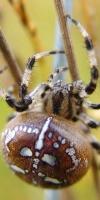 008 Vierfleck Kreuzspinne (Araneus Quadratus)-L. Klasing