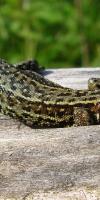 Venn Wald- Moor- Bergeidechse Lacerta Vivipara 03.06.2011. L. Klasing 105 (45)