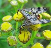 Fächerflügler Paarung: Gemeine Skorpionsfliege (Panorpa communis)