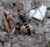 Eiablage: Gelbbindige Schnake w. (Nephrotoma crocata)