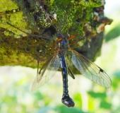 Holzschnake m. (Tanyptera atrata)