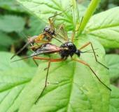 Paarung: Holzschnake m. (Tanyptera atrata)