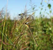 Paarung Gemeine Binsenjungfer (Lestes sponsa)-L. Klasing