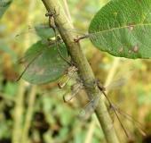 Eiablage: Weidenjungfer (Chalcolestes viridis)-L. Klasing