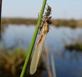 Frühe Adonislibelle (Pyrrhosoma nymphula)-L. Klasing