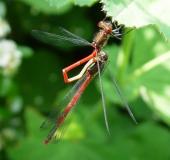 Paarung: Frühe Adonislibelle (Pyrrhosoma nymphula)-L. Klasing