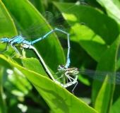 Paarung: Hufeisen Azurjungfer (Coenagrion puella)-L. Klasing