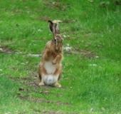 Feldhase (Lepus europeus)-L. Klasing