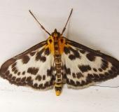 Brennesselzünsler (Eurrhypara hortulata)-L. Klasing