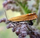 Wickler (Lathronympha strigana)-L. Klasing