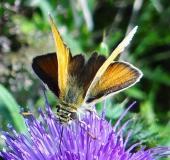 Braunkolbiger Braundickkopffalter (Thymelicus sylvestris)-L. Klasing